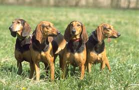 Gara di cani da ferma con brivido sul Monte Grappa: due restano incrodati inseguendo il segugio