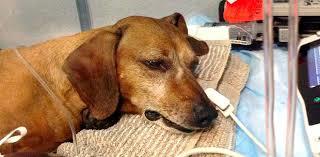 Avvelenò i cani della vicina: settantaquattrenne a processo a Roma