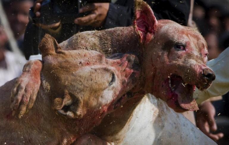 Giro di combattimenti tra cani e allevamento abusivo: la polizia denuncia cinque persone