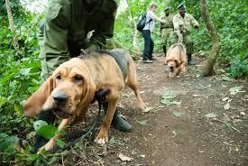 mantrailing bloodhound