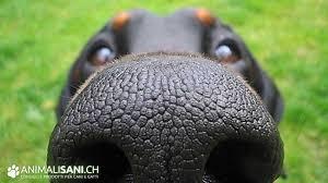 Cimice asiatica, arriva il cane molecolare che la stana a fiuto