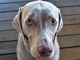 Gli occhi dolci dei cani sono un tranello emotivo: lo dice la scienza