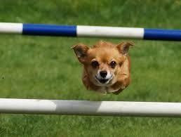 Passione Agility, lo sport di squadra dove vince sempre il cane