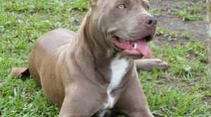 Un pitbull in una foto d'archivio