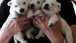 Traffico di cuccioli, beccata gang internazionale: venti indagati, anche veterinari