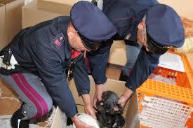 Tentacoli delle zoomafie sui cani: un fascicolo d'inchiesta ogni ora e impennata di combattimenti clandestini nel rapporto LAV 2016