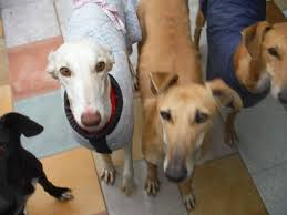 Levrieri, dai galgos ai greyhound una razza in cerca di riscatto e amore