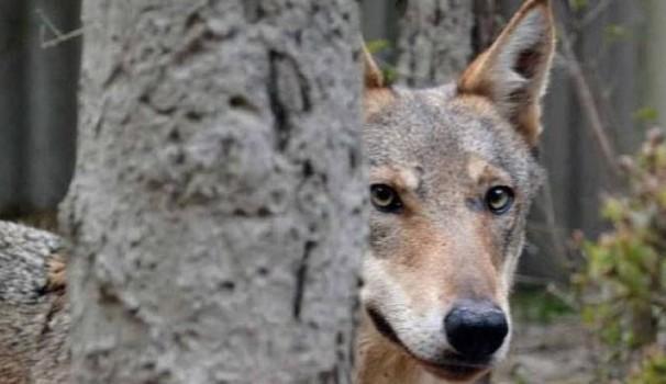 """Ibridi cane-lupo, sequestrate centinaia di esemplari. Galletti: """"Una stretta sul commercio di questi cuccioli"""""""