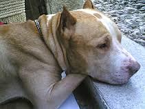 Pitbull sequestrato al proprietario sospettato di aver ucciso altri cani