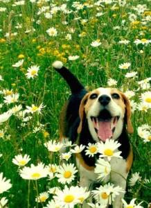 Un beagle come il protagonista di questa storia