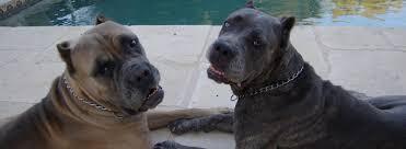Settantottenne sbranato dai suoi due cani: difendeva il terzo, un cucciolo. Il parere di Lav e dei veterinari