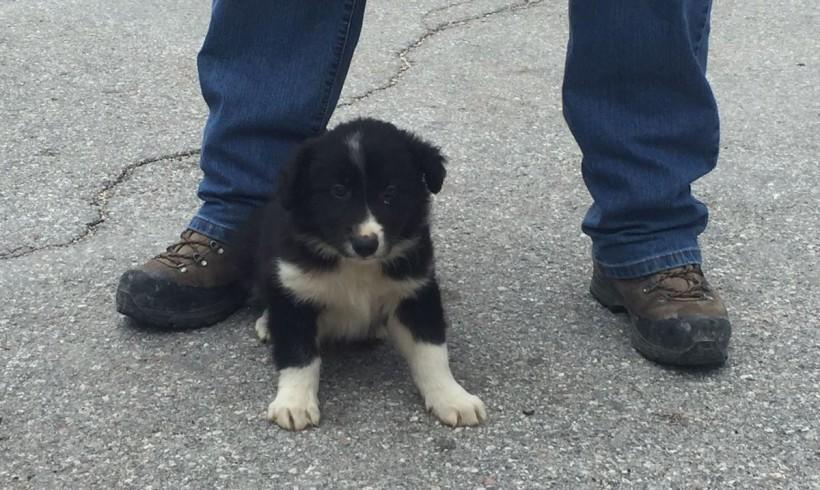 Terremoto, il cucciolo salvato a Castelluccio di Norcia adottato dai vigili del fuoco. Diverrà un cane da soccorso