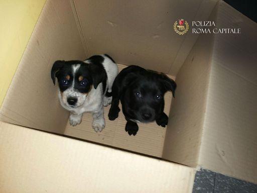 Cuccioli in vendita dentro uno scatolone: sequestro a Porta Portese Est