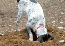 Cane da caccia dissotterra una borsa con oltre un chilo di droga