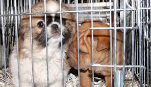 """Cuccioli in condizioni """"pietose"""": la polizia ferma un furgone e ne salva 26. Sul posto un veterinario"""