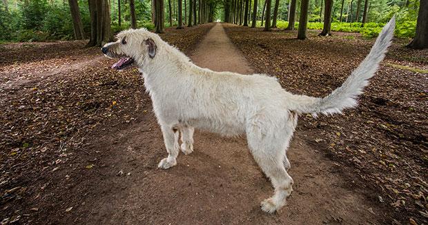 Keon coda da record: con 76.8 centrimetri di sventolio festoso il cane belga entra nel Guinness