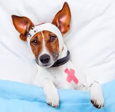 Pancini in allarme: tra i cani è il periodo del picco di virus gastrointestinali. Cosa dicono i vet