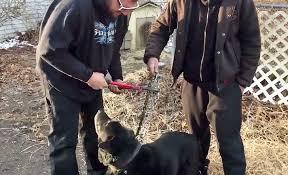 A catena per 15 anni, il cane Bear salvo grazie a una segnalazione. E adesso, per lui, una vecchiaia di terme, hamburger, gite e coccole