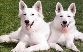 Troppo sole mette a rischio più di tutti i cani bianchi