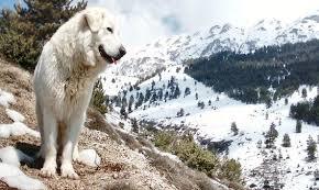 Pastore abruzzese, da Onna parte il progetto di tutela del grande cane bianco