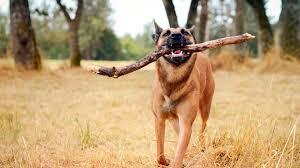 Riporto macabro a Imola: il cane consegna alla proprietaria un dito umano. Indagano Carabinieri e Asl
