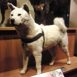 Hachiko impagliato nel Museo Nazionale di Natura e Scienza, a Tokyo