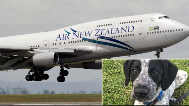 Cucciolo fugge all'addestramento antiesplosivi in aeroporto e viene ucciso. Aveva 10 mesi
