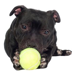 pit-bull-nero-gioca-con-palla-da-tennis
