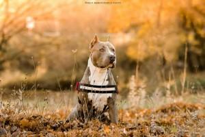 Un cane di razza pitbull (Pablo Abbatangelo photo)
