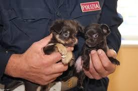 """Traffico illegale di cuccioli, dossier Lav: """"In Italia 8mila ingressi illegali a settimana"""""""