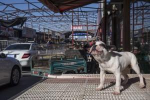 Il mercato nero dei cani in Cina è attivissimo. Qui uno scatto da Lyuan