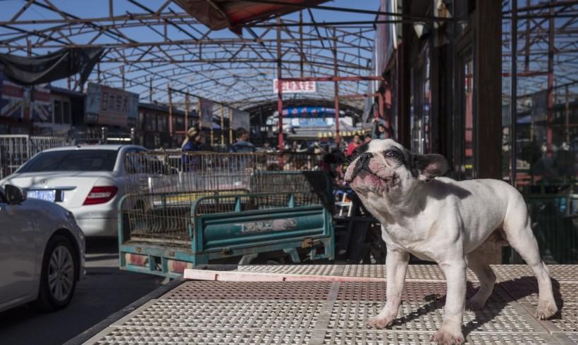 Cina delle contraddizioni: il cane tra pietanza e status symbol