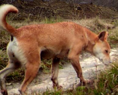 Lo credevano estinto: il cane più antico del mondo sta bene, vive in Nuova Guinea