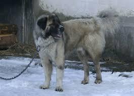 Cani da guardia maltrattati, 17 denunce Enpa in ditte cinesi a Prato