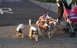 Multe a chi passeggia con più di quattro cani alla volta: offensiva al multipet nel Regno Unito