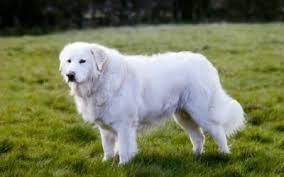 Un cane maremmano (foto d'archivio)