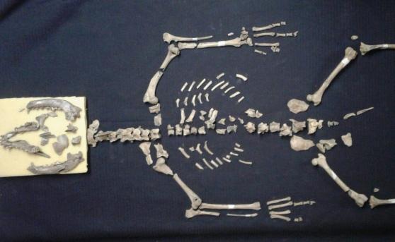 Maschio, taglia media, naso a punta: è il cane di 6mila anni fa scoperto negli scavi a Monzambano