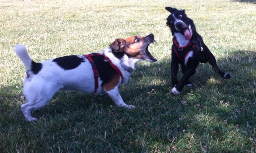 Tra cane killer e cane eroe: elogio del mediodog