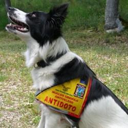 Dacia, detective antiveleno. Ecco uno dei cani che salvano i lupi sul Gran Sasso