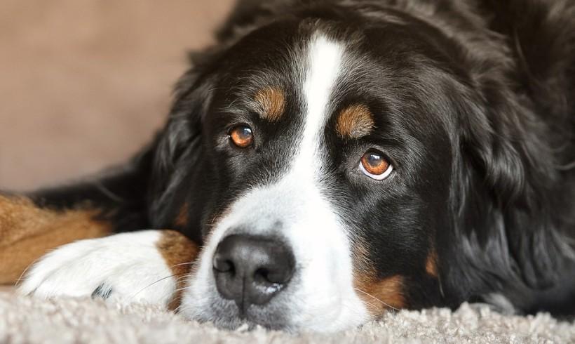 Infermiere a quattro zampe, cane veglia per ore il suo umano ferito a terra