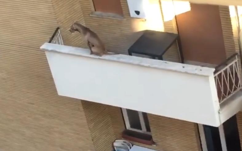 Il cane gli devasta i mobili e il proprietario lo chiude solo sul balcone. Il quattro zampe si mette in pericolo
