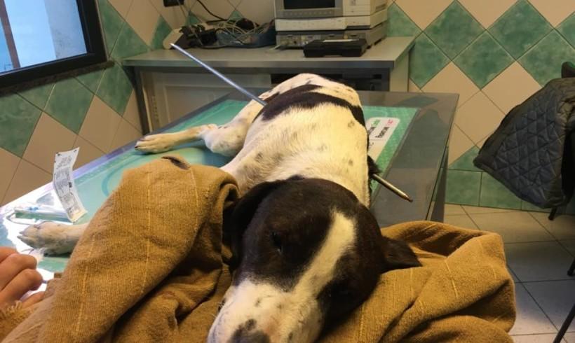 Il cane Freccia in condizioni disperate: lo hanno infilzato da parte a parte con un arpione