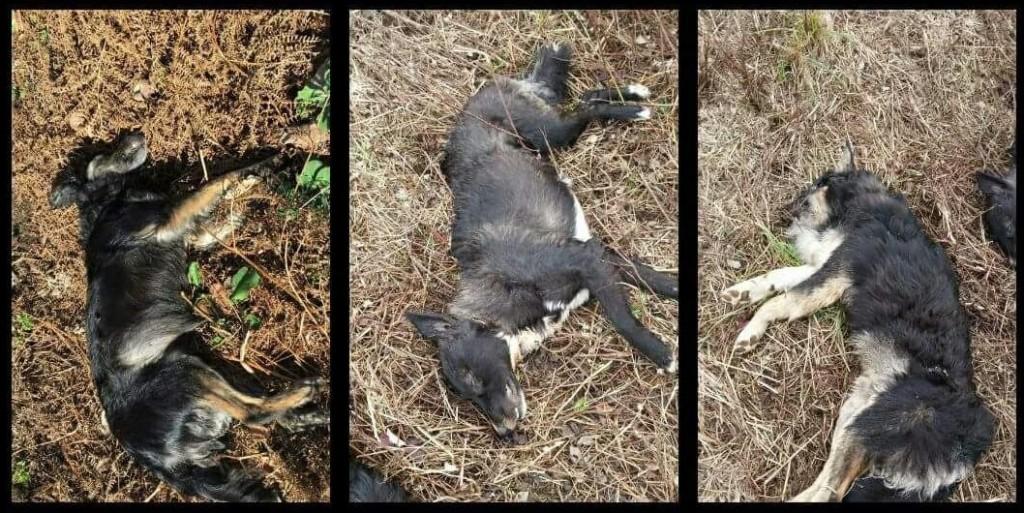 I tre cuccioloni ormai morti. Foto: Animalisti Italiani onlus