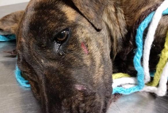 Una cucciola investita e mancano i soccorsi: per fortuna Tigra incontra Enpa. Il video dei primi passi del cane