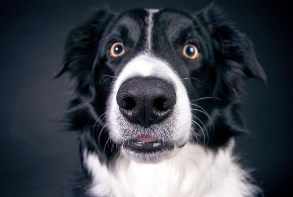Così l'uomo creò il cane: uno studio dimostra i risultati di secoli di selezione e domesticazione