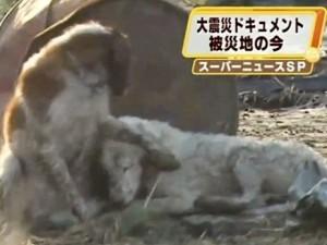 cane-eroe-in-giappone-dopo-il-terremoto-300x225