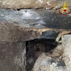 Corri corri si incastrano in tre nella tana dell'istrice: per salvarli arrivano i pompieri