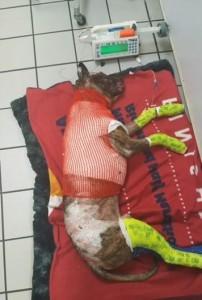 Tommie in un'immagine Facebook del Richmond Animale Care and Control
