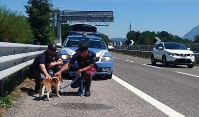 Marachella per il beagle Rudy: va via dal suo giardino e finisce in autostrada