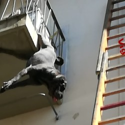 Appeso per la zampa dal balcone al terzo piano